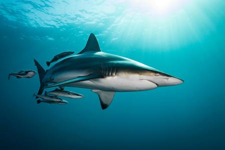 medium: Oceanic Blacktip Shark (Carcharhinus Limbatus) swimming near surface of ocean, Aliwal Shoal, South Africa