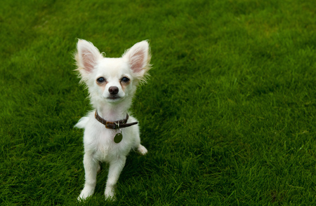 Long-haired Chihuahua sitting on grass