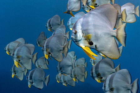 School of Longfin Batfish (Platax Teira), Aliwal Shoal, South Africa LANG_EVOIMAGES