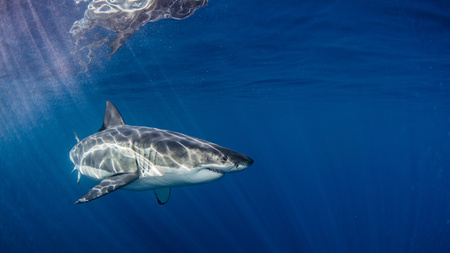 guadalupe island: Underwater view of Great White Shark, Guadalupe Island, Mexico LANG_EVOIMAGES