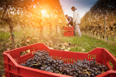 Workers harvesting red grapes of Nebbiolo, Barolo, Langhe, Cuneo, Piedmont, Italy LANG_EVOIMAGES
