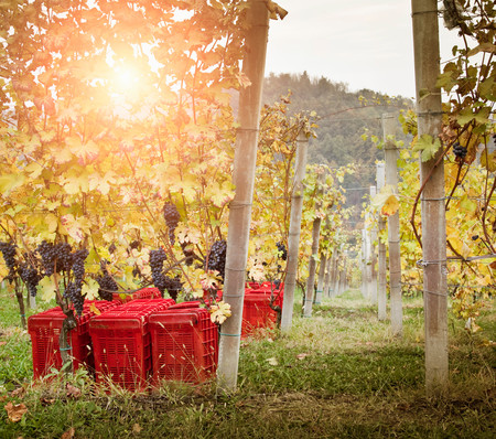 Vineyard twilight, red grapes of Nebbiolo, Barolo, Langhe, Cuneo, Piedmont, Italy