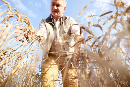 Farmer in wheat field quality checking wheat