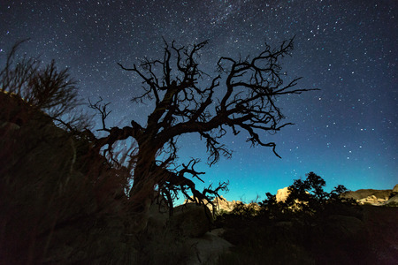 joshua tree national park: Silhouette of joshua tree and starry night sky, Joshua Tree national park, California, USA