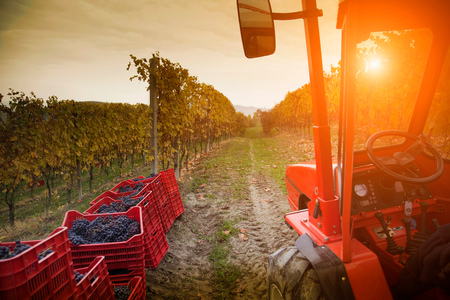 Tractor in vineyard, red grapes of Nebbiolo, Barolo, Langhe, Cuneo, Piedmont, Italy