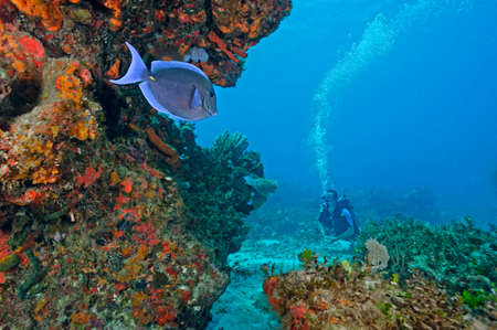 tang: Scuba diver and blue tang fish (acanthurus coeruleos) by coral reef, Cancun, Quintana Roo. Mexico LANG_EVOIMAGES