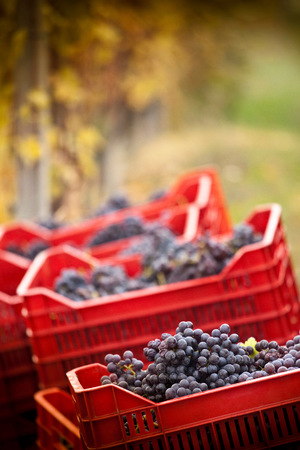focus on foreground: Crates of red grapes of Nebbiolo, Barolo, Langhe, Cuneo, Piedmont, Italy