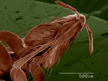Mouthparts of groundhog flea (Phthiraptera: Polyplacidae Linognathoides Marmotae)