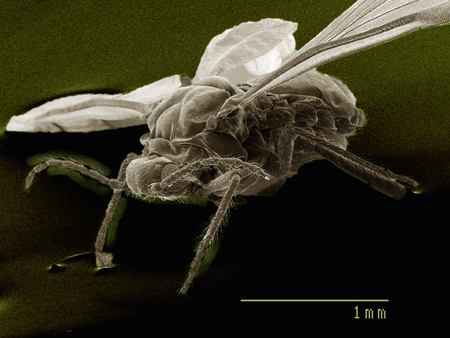 Lateral view of winged aphid, Hemiptera