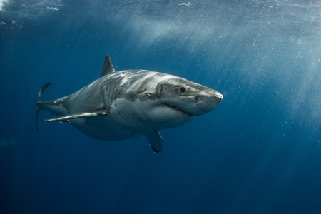 guadalupe island: White shark cruising around the crystal blue water of Guadalupe Island, Mexico LANG_EVOIMAGES