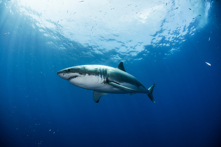 guadalupe island: Low angle view of great white shark, Guadalupe, Mexico