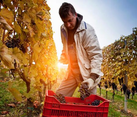 pantalones abajo: Trabajador de la cosecha de uvas rojas de Nebbiolo, Barolo, Langhe, Cuneo, Piamonte, Italia