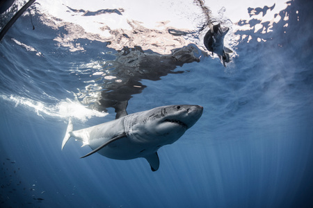 guadalupe island: White shark approaches a piece of bait in front of a cage placed for divers, Guadalupe island, Mexico