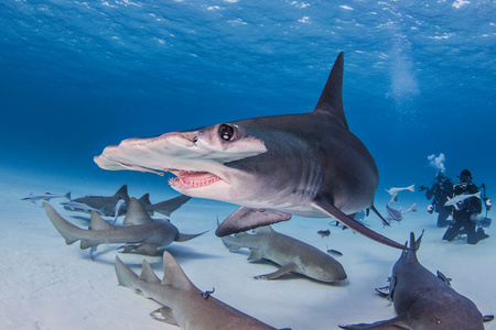 pez martillo: Great Hammerhead shark with nurse sharks, underwater view