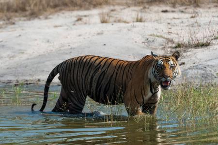 Bengal tiger (Panthera tigris tigris), Bandhavgarh National Park, India LANG_EVOIMAGES