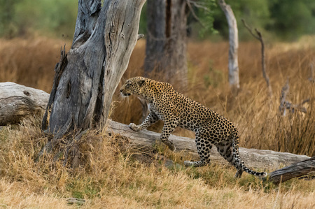 Leopard (Panthera pardus) stepping onto fallen tree, Khwai concession, Okavango delta, Botswana