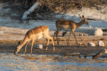 Two impalas (Aepyceros melampus) drinking in river, Savuti marsh, Chobe National Park, Botswana LANG_EVOIMAGES