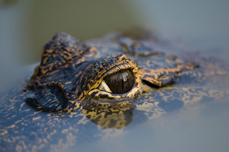 Close up of Yacare caimans (Caiman crocodylus yacare) eye on surface of water, Pantanal, Mato Grosso, Brazil LANG_EVOIMAGES