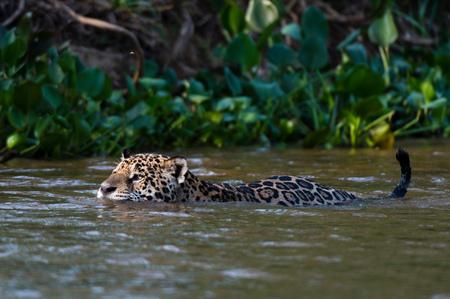 Jaguar (Panthera onca) swimming in Cuiaba river, Pantanal, Mato Grosso, Brazil