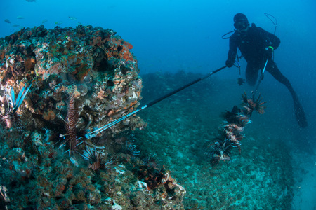 Diver collects invasive lionfish from local reef LANG_EVOIMAGES