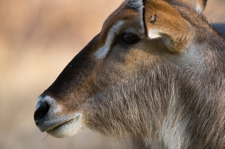 Head shot of waterbuck (Kobus ellipsiprymnus), Khwai concession, Okavango delta, Botswana LANG_EVOIMAGES