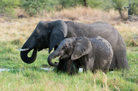 Juvenile elephant (Loxodonta africana) and mother feeding on grass, Khwai concession, Okavango delta, Botswana