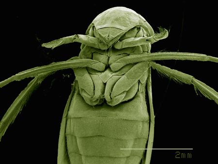 Skaningowa mikroskopia elektronowa głowy samicy suwaka (hemiptera: corixidae)