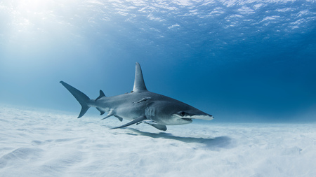 Wielki rekin Hammerhead, podwodny widok