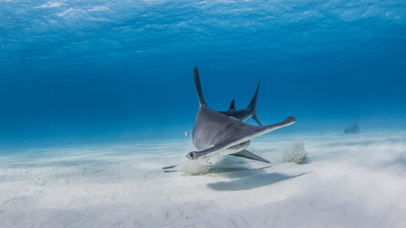 Great Hammerhead digging in sand for fish parts, Nurse shark in background, underwater view