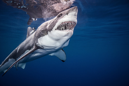 guadalupe island: Great White shark, underwater view LANG_EVOIMAGES