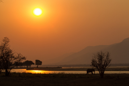 Elephant (Loxodonta africana) by Zambezi river at sunset, Mana Pools National Park, Zimbabwe