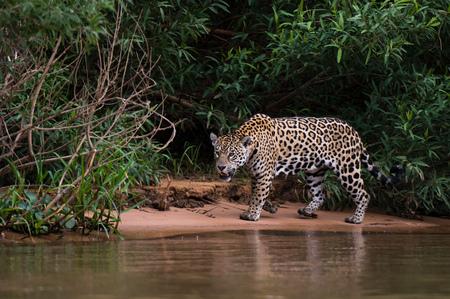 Jaguar (Panthera onca) on Cuiaba riverbank, Pantanal, Mato Grosso, Brazil