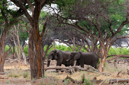 Two elephants (Loxodonta africana) amongst trees, Khwai concession, Okavango delta, Botswana