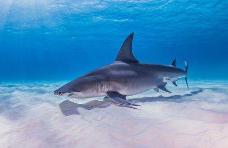 pez martillo: Great Hammerhead shark, underwater view LANG_EVOIMAGES