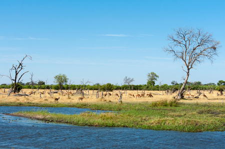 Landscape with river and distant gazelle herd, Khwai concession, Okavango delta, Botswana