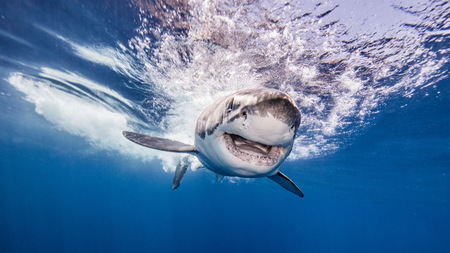 guadalupe island: Great white shark, underwater view, Guadalupe Island, Mexico