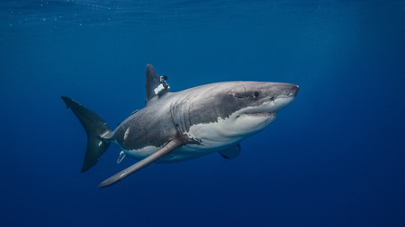 guadalupe island: Great White shark with camera clamped on fin for conservation study, underwater view