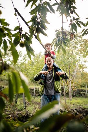 Boy on mans shoulders poking chestnut tree with pole in vineyard woods LANG_EVOIMAGES