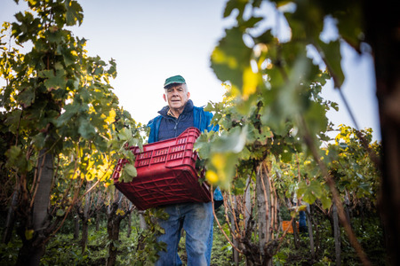 Portrait of senior man carrying grape crate in vineyard LANG_EVOIMAGES