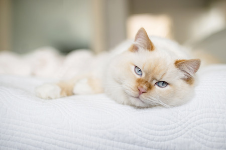 bedspread: Rag doll cat with blue eyes on bed LANG_EVOIMAGES