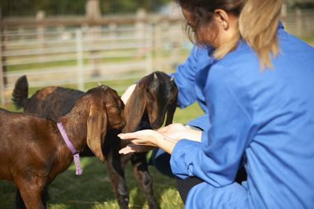 Farm workers tending to goats