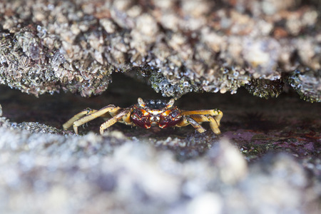 Close-up of crab hiding in rocks,Durban,South Africa