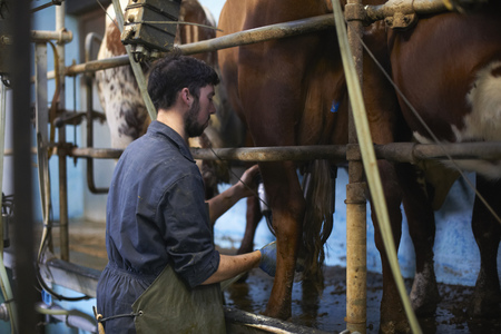 Farmer milking cows in dairy farm,using milking machines LANG_EVOIMAGES