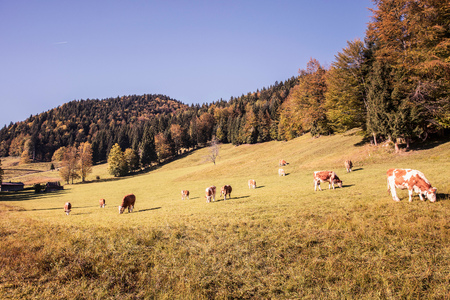 Cows grazing on forest hillside, Bavaria, Germany