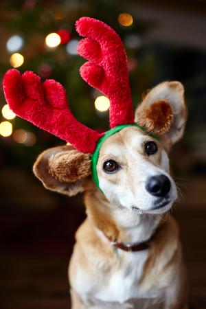 Portrait Of Dog Wearing Reindeer Ears LANG_EVOIMAGES