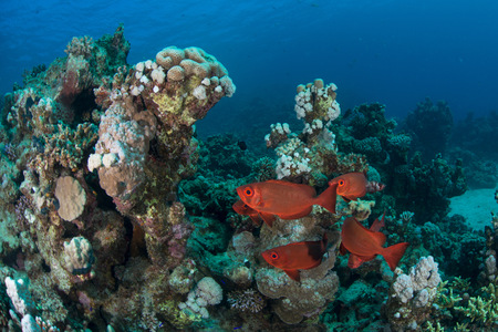 stony coral: Fish By Corals, Red Sea, Marsa Alam, Egypt