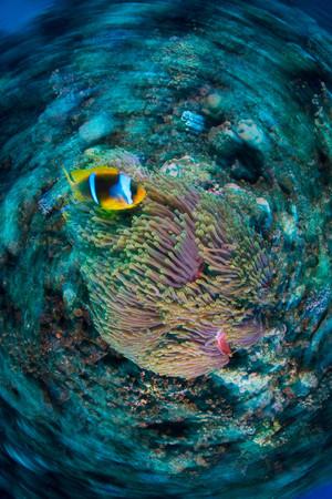 fondali marini: Clownfish (Amphiprion Bicinctus) By Anemone, Marsa Alam, Egypt