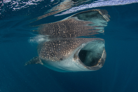 Whale Shark (Rhyncodon Typus) Filter Feeding In The Surface, Underwater View, Isla Mujeres, Mexico