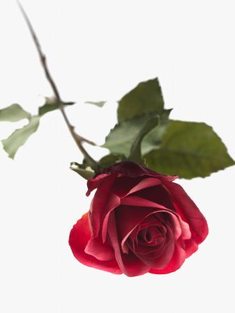 Discarded Rose LANG_EVOIMAGES