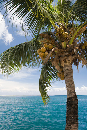 A Coconut Palm Tree And The Sea Tahiti LANG_EVOIMAGES